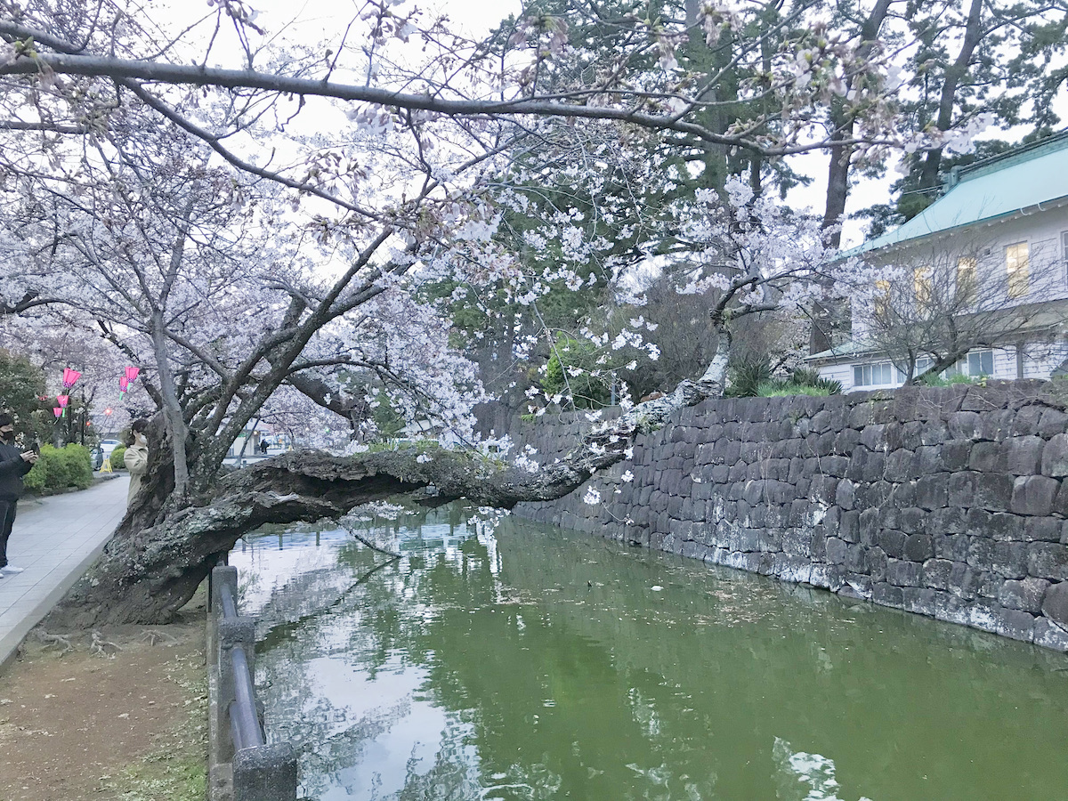 小田原城の桜並木